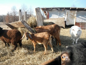 Critter goats in the barnyard.
