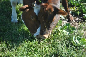 Grazing dairy cows.