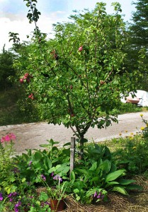 Why, it's a perennial polyculture of multipurpose plants! An apple tree, comfrey, milkweed and more! Photo by Dennis.