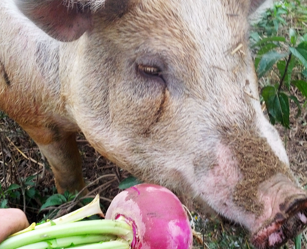 Let's All Eat Turnips: A Dancing Rabbit Update
