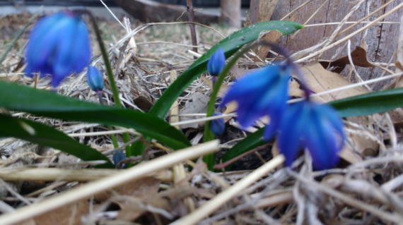 Foolish Scilla, blooming in the cold. Photo by Cob.