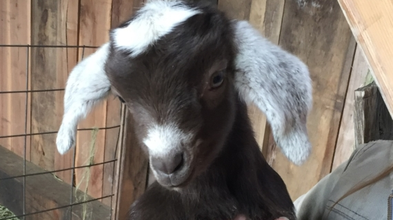 One of Dancing Rabbit's newest inhabitants, delighted by the end of a baaaad winter.
