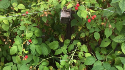 Raspberries growing beside our community common house.