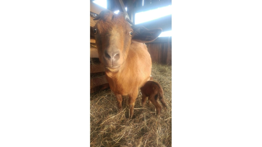 The first baby goat of 2020.